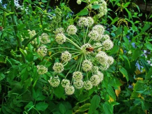 musk flower